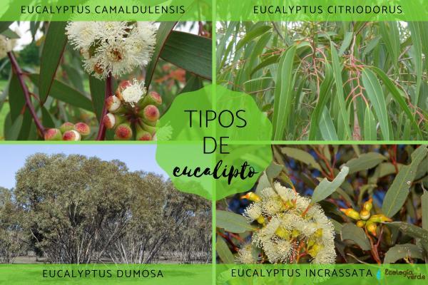 Tipos de eucalipto