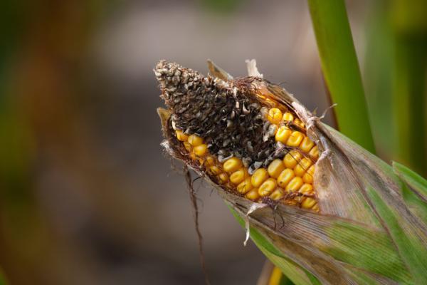 Plagas y enfermedades del maíz y su control