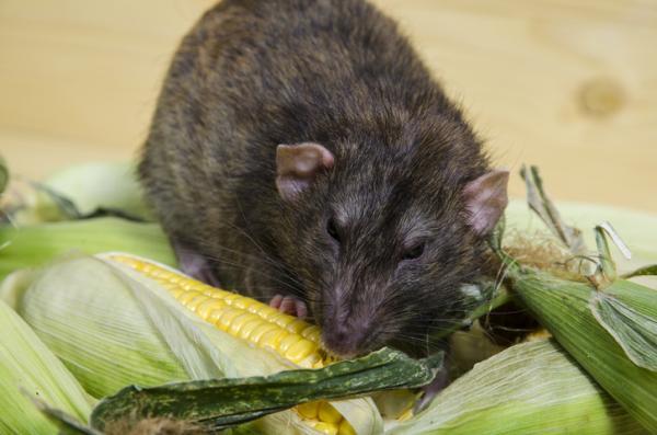 Plagas y enfermedades del maíz y su control - Ratones y ratas