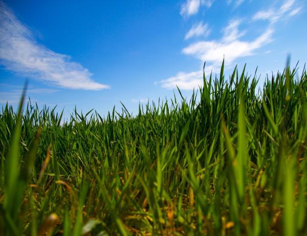 Plantar grama: cómo hacerlo