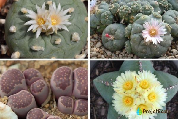 Types de cactus - Noms et soins - Types de cactus et liste des noms de cactus