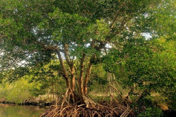 Qu'est-ce qu'une mangrove ? - Définition et caractéristiques - La mangrove et les palétuviers