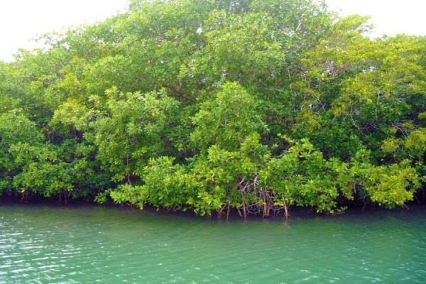Qu'est-ce qu'une mangrove ? - Définition et caractéristiques - Que sont les mangroves et quelles sont leurs caractéristiques ?