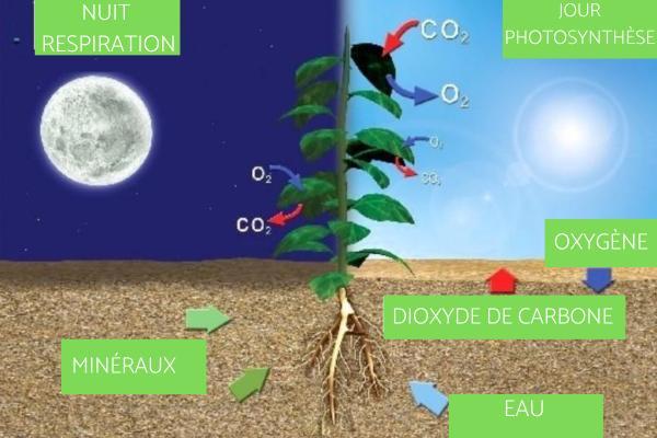 Respiration des plantes - Comment respire une plante - Différence entre photosynthèse et respiration des plantes