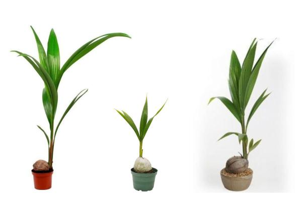 Plantes vertes d'intérieur - Cocotier