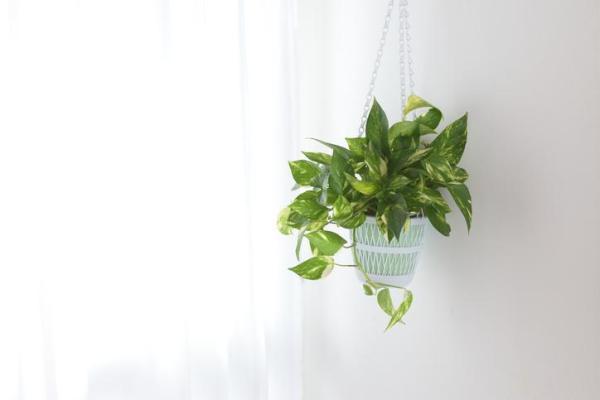 Plantes vertes d'intérieur - Epipremnum aureum