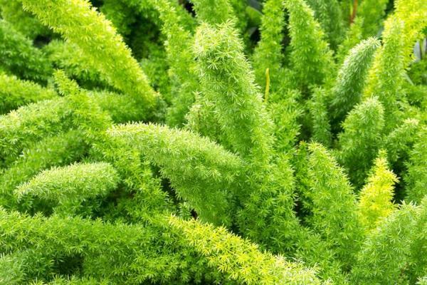 Plantes vertes d'intérieur - Meyerii ou Asparagus de Myers