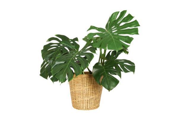 Plantes vertes d'intérieur - Monstera