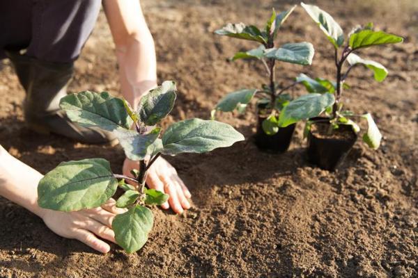 Comment planter des aubergines - Comment planter les aubergines en pleine terre