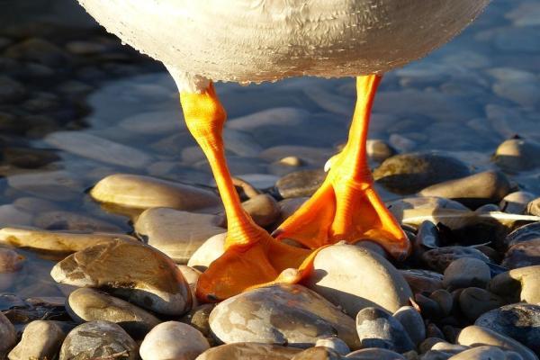 Oiseaux aquatiques : caractéristiques, types et noms - Caractéristiques des oiseaux aquatiques