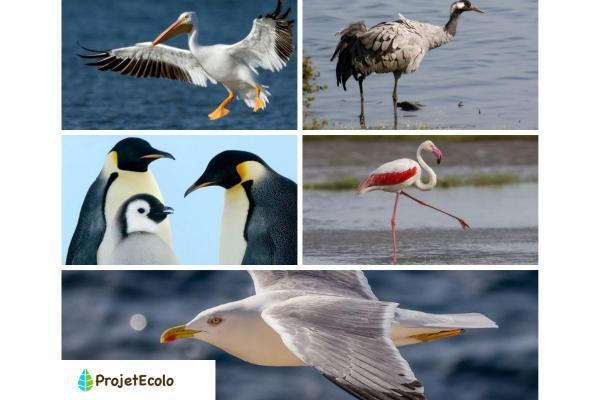 Oiseaux aquatiques : caractéristiques, types et noms - Noms d'oiseaux aquatiques - Exemples avec photos