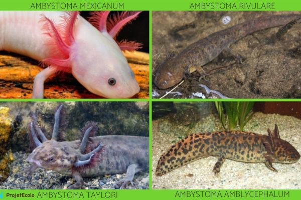 Axolotl - Types et caractéristiques - Types d'axolotls