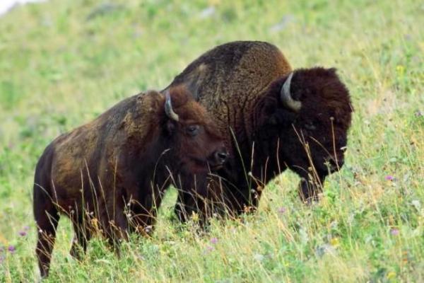 Animaux en voie de disparition aux Etats-Unis - Bison d'Amérique (Bison bison)