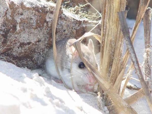 Animaux en voie de disparition aux Etats-Unis - Souris de plage (Peromyscus polionotus)