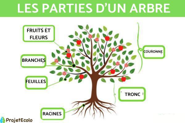 Les différents types d'arbres - Caractéristiques des arbres et leurs parties