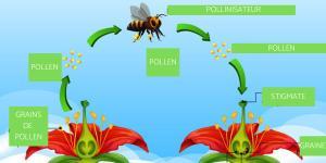 Qu'est-ce que la pollinisation