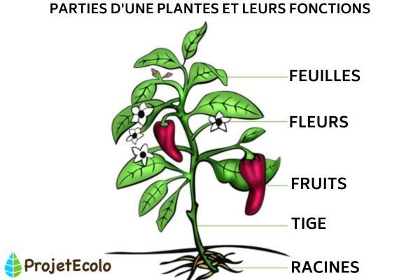 Anatomie d'une plante - les parties d'une plante avec schéma