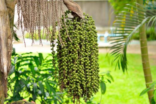 Types de palmiers - Liste et caractéristiques avec photos - Caryota urens