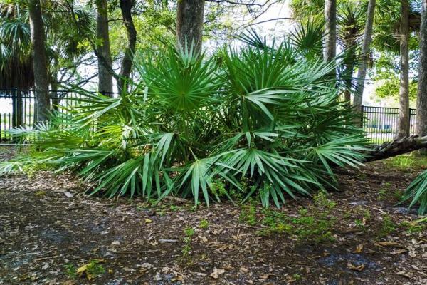 Types de palmiers - Liste et caractéristiques avec photos - Chamaerops humilis