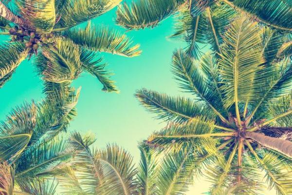 Types de palmiers - Liste et caractéristiques avec photos - Cocos nucifera