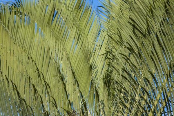 Types de palmiers - Liste et caractéristiques avec photos - Dypsis decaryi