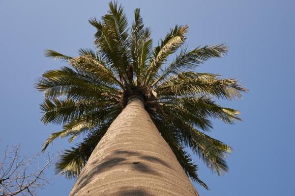 Types de palmiers - Liste et caractéristiques avec photos - Jubaea chilensis