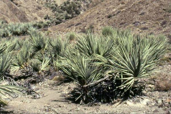 Types de palmiers - Liste et caractéristiques avec photos - Nannorrhops ritchiana