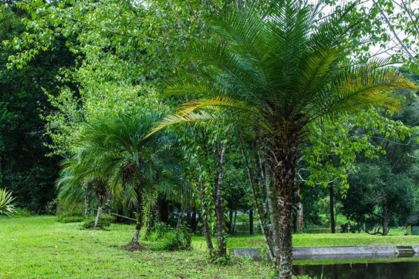 Types de palmiers - Liste et caractéristiques avec photos - Phoenix roebelenii