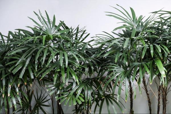 Types de palmiers - Liste et caractéristiques avec photos - Rhapis excelsa