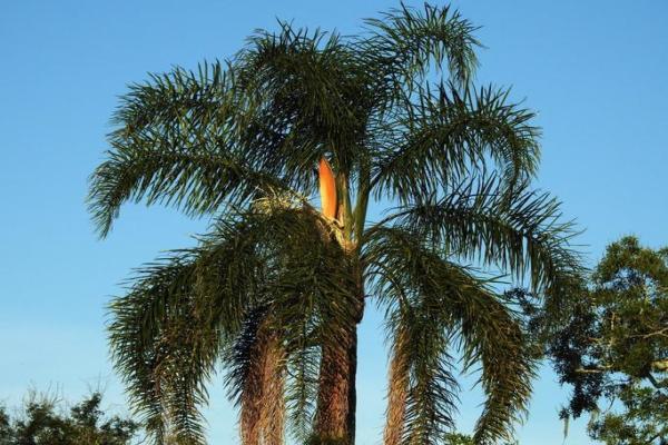 Types de palmiers - Liste et caractéristiques avec photos - Syagrus romanzoffiana