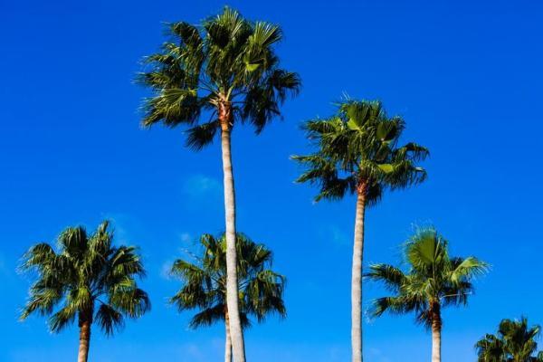 Types de palmiers - Liste et caractéristiques avec photos - Washingtonia robusta