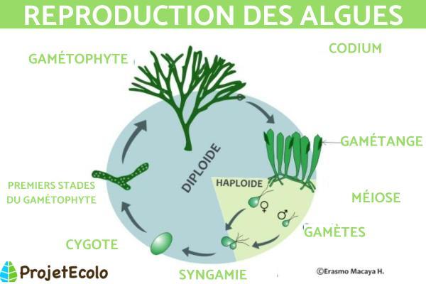 Reproduction des algues