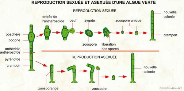 Reproduction des algues - Reproduction sexuée des algues