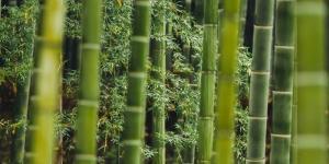 Comment planter du bambou