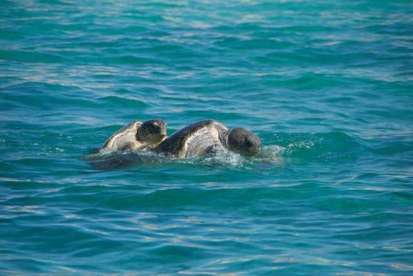 Reproduction des tortues de mer - A partir de quel âge les tortues de mer se reproduisent-elles ?