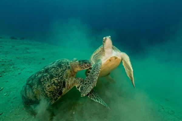 Reproduction des tortues de mer - Parade nuptiale des tortues de mer