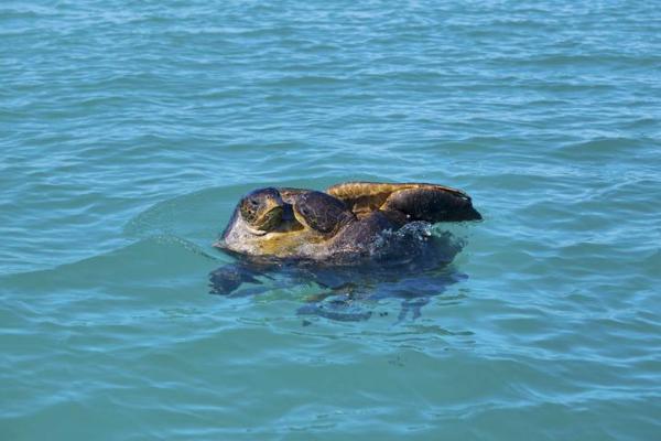 Reproduction des tortues de mer