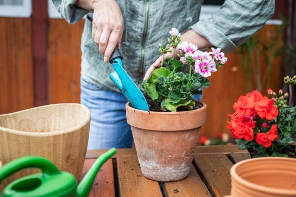 Quand planter les géraniums
