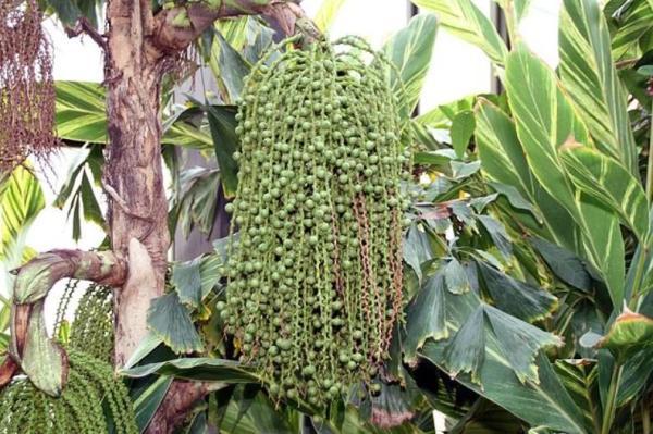 Plantes à grosses feuilles - Caryota mitis