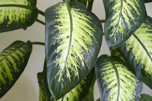 Plantes à grosses feuilles - Dieffenbachia amoena