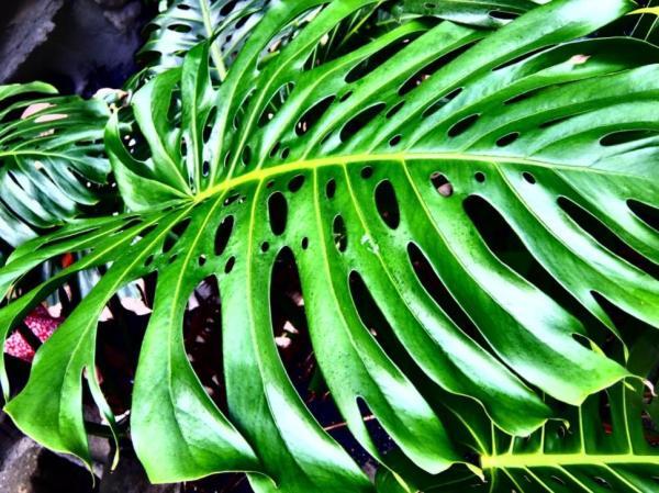 Plantes à grosses feuilles - Monstera deliciosa ou Faux philodendron