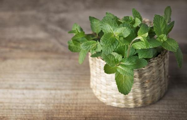 Plantes qui absorbent l'humidité - 20 plantes anti-humidité - Menthe