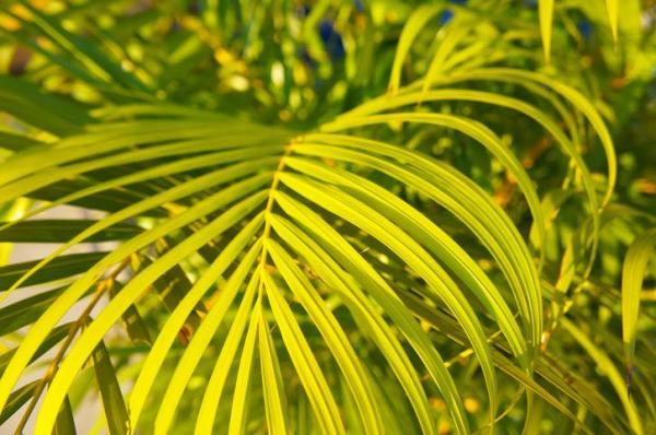 Plantes qui absorbent l'humidité - 20 plantes anti-humidité - Palmier nain de Seifriz