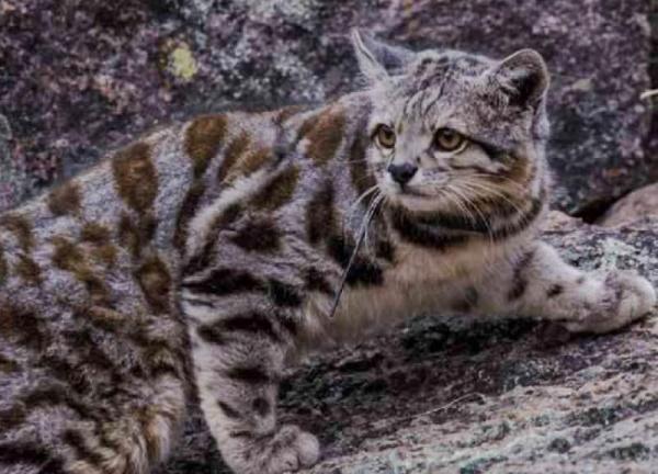 Les félins en voie de disparition - Chat des Andes