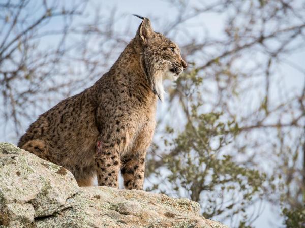 Les félins en voie de disparition - Lynx ibérique