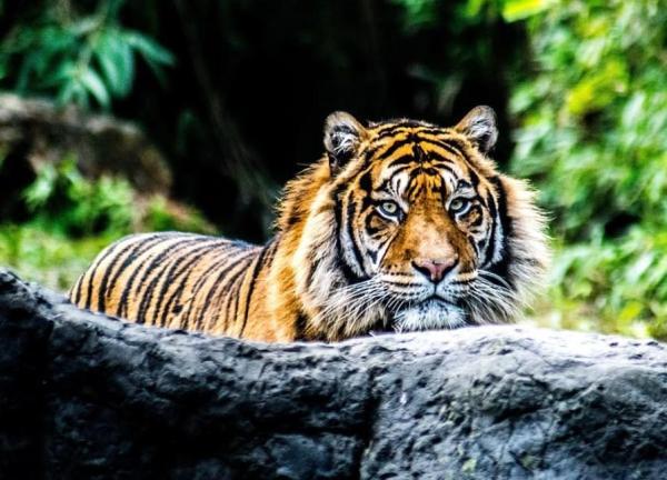 Les félins en voie de disparition - Tigre