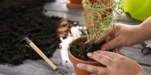Comment planter du thym