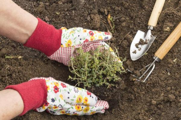 Comment planter du thym - Comment planter du thym en pleine terre