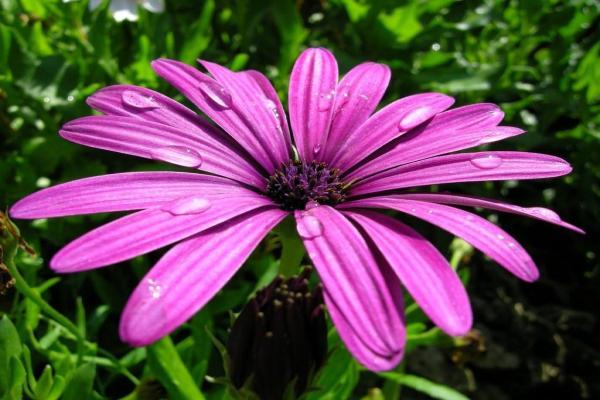 10 plantes à fleurs violettes - Noms, caractéristiques et photos - Dimorphotheca