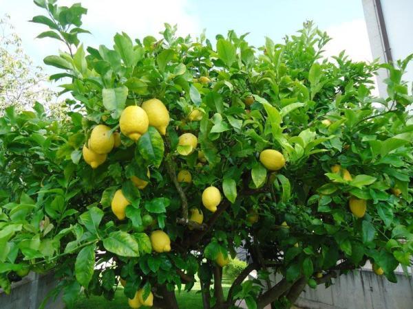 Variété de citronnier - Caractéristiques, liste et photos - Citronnier Eureka ou citronnier des quatre saisons
